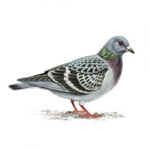 Feral_pigeon_250_jpg_display