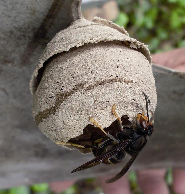 Le premier nid de frelon asiatique de la saison 2019 a été détruit le lundi 1er avril sur la commune de Baulon.
